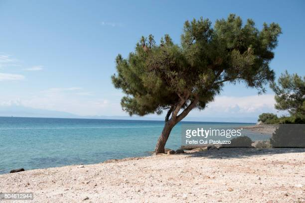 conifer tree at skala maries, thassos island, east macedonia and thrace region, norhtern greece - thasos stock photos and pictures