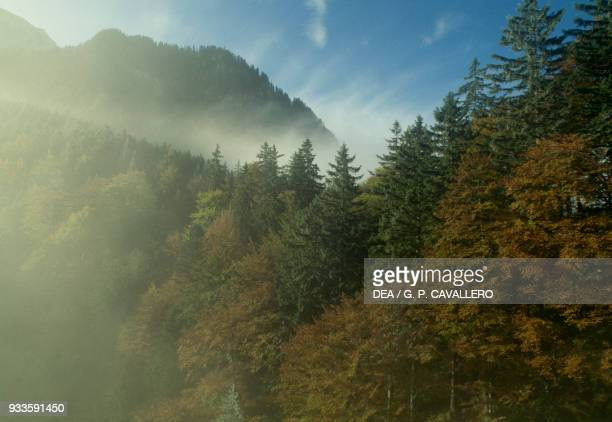 Coniferous forest cloaked with fog Fussen Bavarian Alps Bavaria Germany