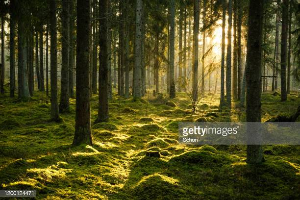 coniferous forest in evening light with fog in winter - forest stockfoto's en -beelden