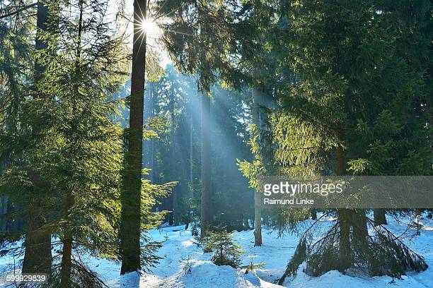 Coniferous Forest in Winter with Sun