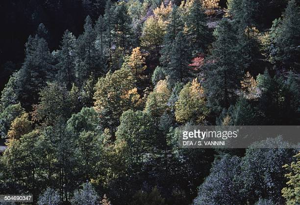 Coniferous forest seen from above Ollomond Aosta Valley Italy
