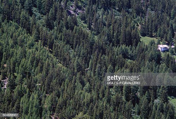 Coniferous forest seen from above Vallone di La Thuile Aosta Valley Italy