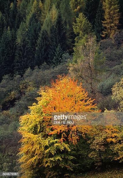 Coniferous forest Val Rendena Dolomites TrentinoAlto Adige Italy