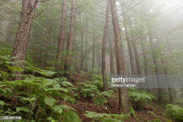 coniferous forest with fog, ferns, orrido di botri natural state reserve, tuscany, italy - state stock pictures, royalty-free photos & images