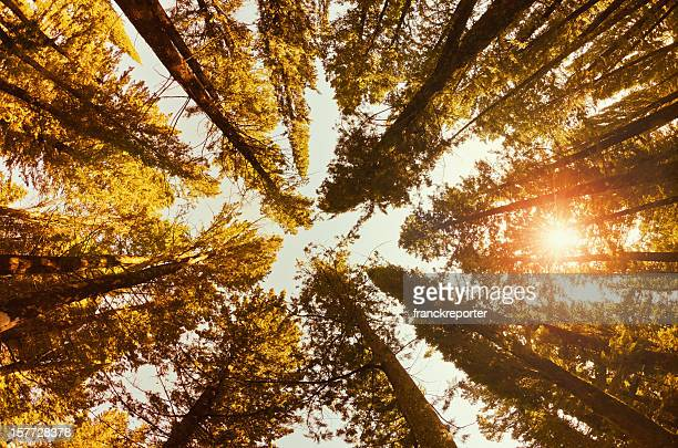 Coniferous tree forest at sunset