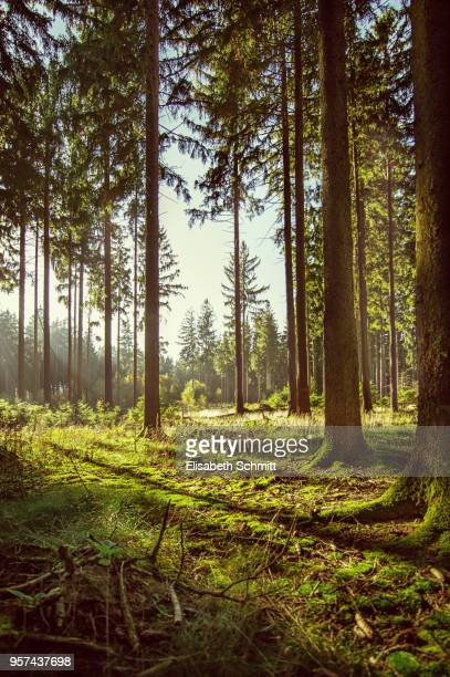 coniferous trees in a forest lit by the sunlight