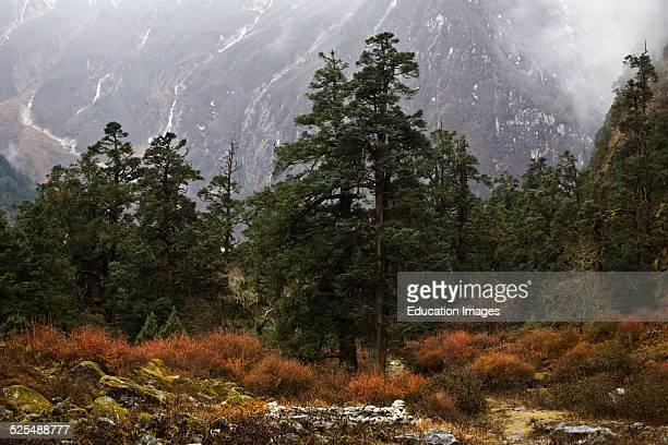 Coniferous Trees In A Healthy Forest On The Around Manaslu Trek Nupri Region Nepal