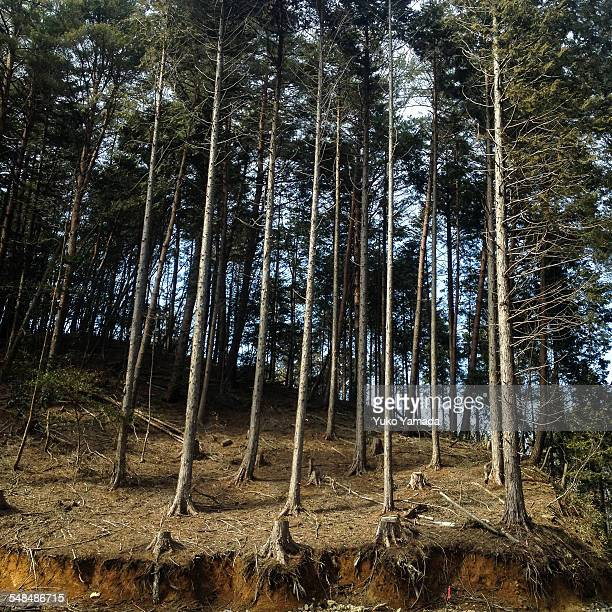 Coniferous trees in Afforestation Area