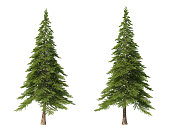 Coniferous trees on an isolated background. Spruce.