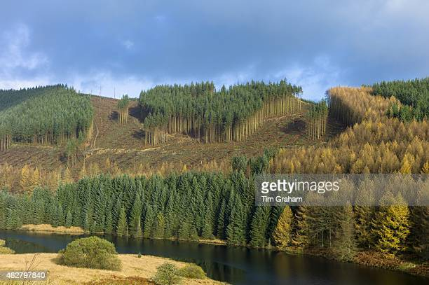 Conifers and larch trees in coniferous forest plantation for timber production along valley in the Brecon Beacons mountain range Wales UK