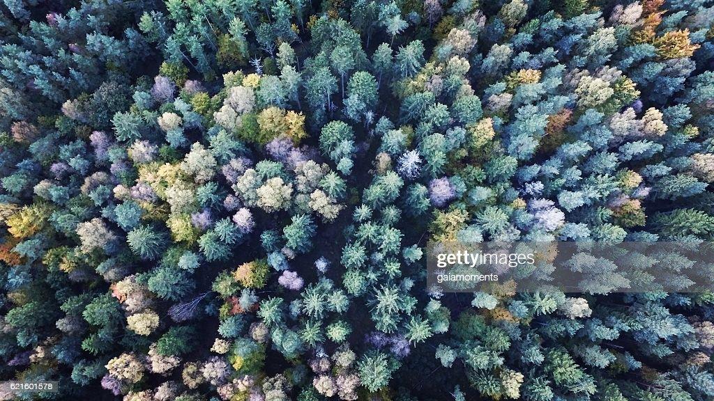 Conifers : Stock Photo