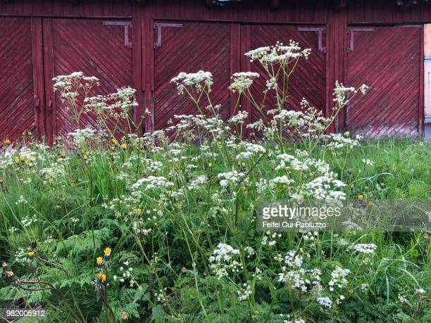 conium maculatum plant at olderdalen, norway - poison hemlock stock pictures, royalty-free photos & images