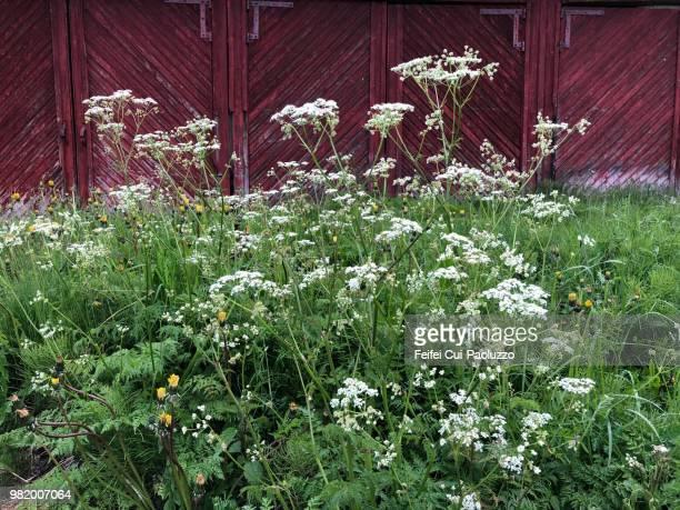 conium maculatum plant at olderdalen, norway - hemlock tree stock pictures, royalty-free photos & images