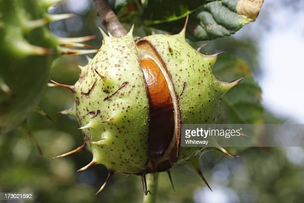 Conker horse chestnut tree split seed case
