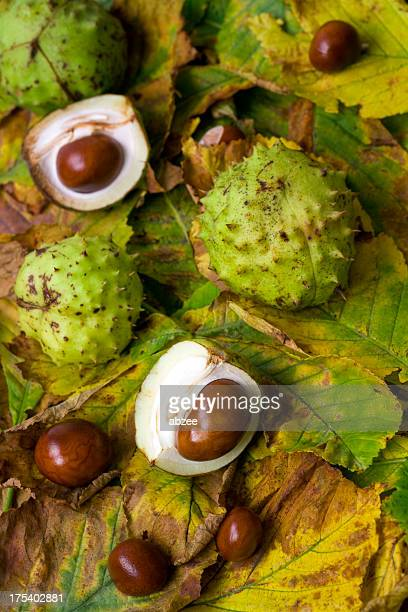 conkers and chestnut leaves - picture of a buckeye tree stock photos and pictures