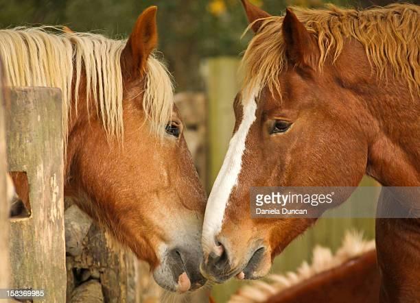 connecting - accouplement cheval photos et images de collection