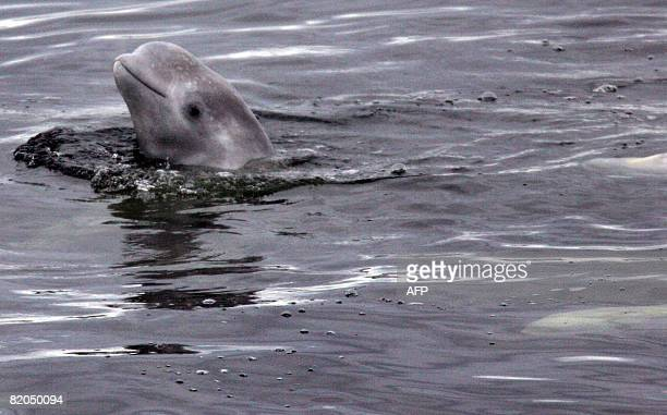 Conor HUMPHRIES A young beluga whale pokes its melonshaped head out of the waters of the White Sea near the Actic Circle off of the Solovetsky...