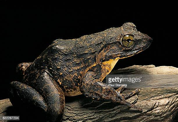 Conraua goliath (giant frog)
