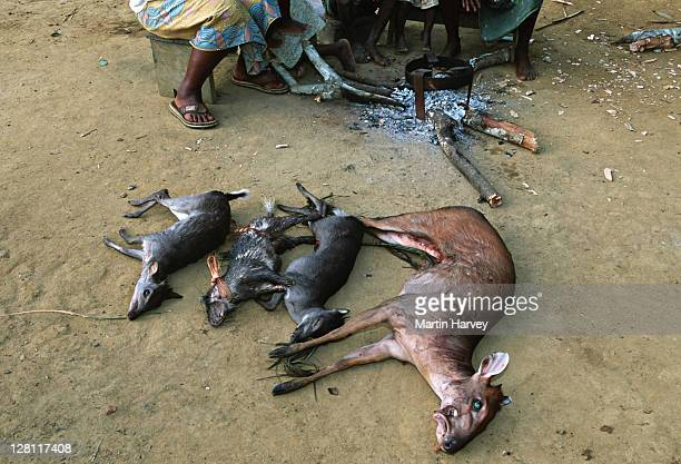 Conservation Issues. Bushmeat. Antelope killed by subsistance hunters are displayed in the village. Central Africa