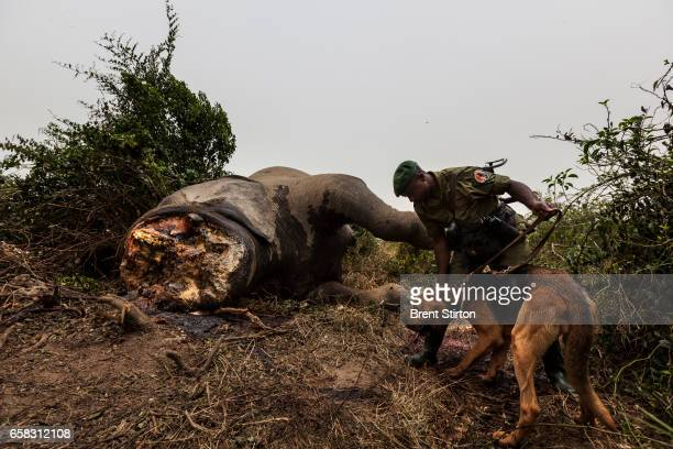 Conservation Rangers deploy young bloodhounds for the first time in Virunga to investigate the corpse of a recently killed subadult male elephant in...