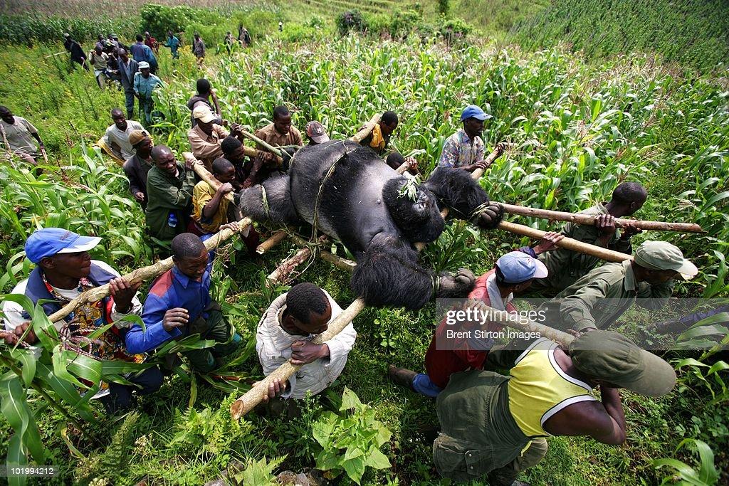 Gorillas New Threat of Extinction : News Photo
