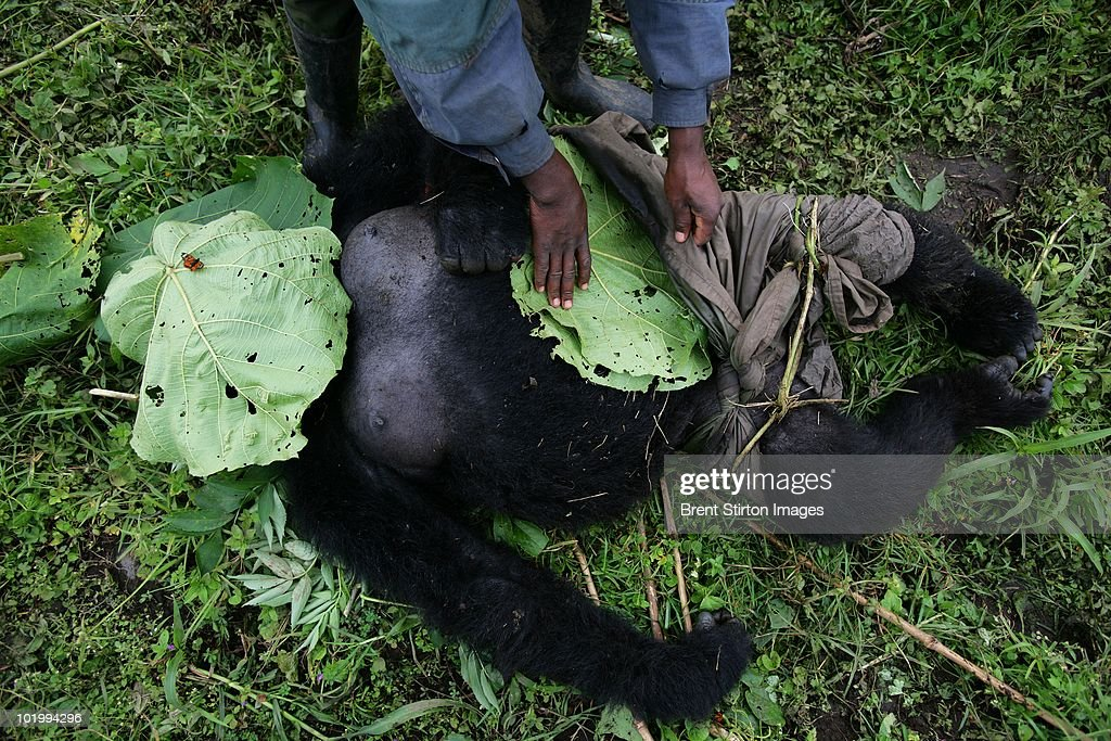 Conservation Rangers from an Anti-Poaching unit work with locals to evacuate the bodies of four Mountain Gorillas killed in mysterious circumstances in the park, July 24, 2007, Virunga National Park, Eastern Congo. A Silver-Back Alpha male, the leader of the group was shot, three females were also killed. Two of the females had babies and the other was pregnant. The two babies were not found and it is thought that they will have died of stress and dehydration. The motivation for the killing is not known but it is suspected that there are political motivations. The local illegal Charcoal industry clashes with conservation efforts in this very poor area and Rangers have been threatened, tortured and killed as a result of this clash of political and economic wills. Over 100 Rangers have been killed in their efforts to protect the Gorillas of Virunga, one of the world's most endangered species. The Congolese Rangers in this particular group are working with Wildlife Direct, a Conservation organisation. The Rangers receive a salary based on donations to Wildlife Direct and perform one of the most dangerous jobs in the world of wildlife conservation. The DRC has the highest toll of human casualties of any country since the second world war, a figure in the region of 4.6 million dead as a result of war and resultant displacement, disease, starvation and ongoing militia violence.