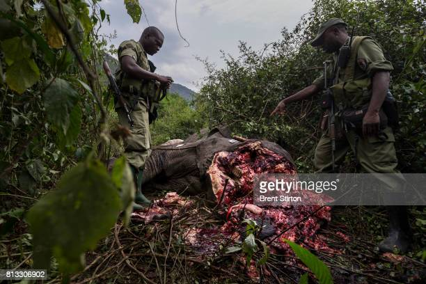 Conservation Rangers investigate and then deploy bloodhounds in Virunga National Park to investigate the corpse of a elephant killed in the night...