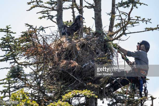 Conservationist and BTO licensed ringer Justin Grant approaches a whitetailed eagle also known as a sea eagle nest on June 10 2019 on the Isle of...