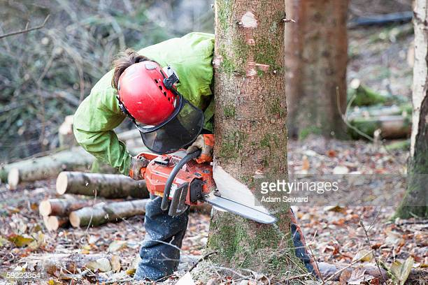 Conservationist working in a reserve to remove non-native conifer trees for natural forest restoration