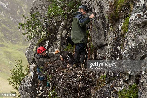 Conservationists Ewan Weston and Justin Grant abseil onto a Golden Eagle eyrie before attaching GPS satellite tags to two seven and a half week old...