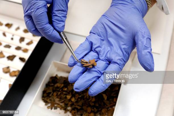 A conservator uses tweezers to hold fragments of a Dead Sea scroll at the scrolls' conservation laboratory of the Israel Antiquities Authority in...