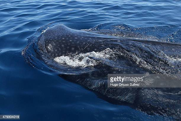 Considered the most gigantic of all sharks and the world's largest fish, the whale shark is one of the species by its large size, their distinctive...