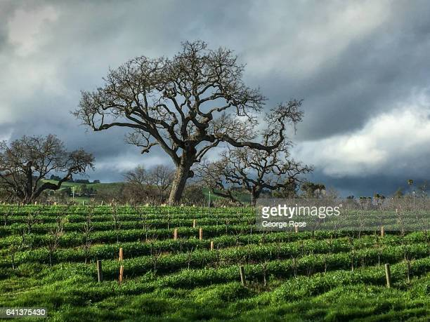 Consistent rains have drenched much of the Central Coast, turning the mountains and vineyards into a lush green color not seen in years as viewed on...