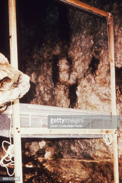 A Constantine bat trap placed between cave rocks waits for the bats to be caught and examined during an arbovirus field study 1974 Image courtesy...