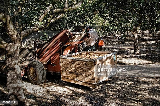 Container full of pistachio nuts after a successful harvesting run with the specialized nut harvester, Yolo, California.