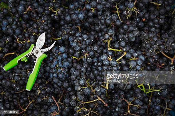 A container full of red grapes, and a pair of secateurs.