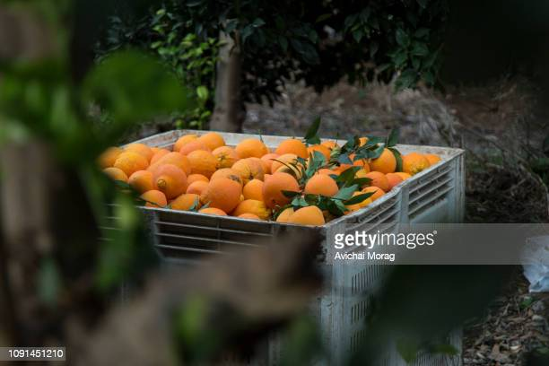 container full with oranges between branches - orange orchard stock photos and pictures