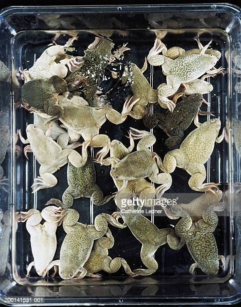 Container of African Clawed Frogs (Xenopus Laevis sp.)