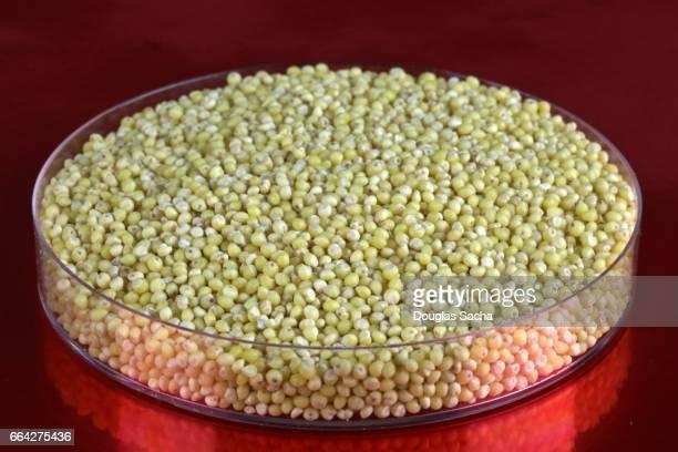 Container of Pearl Millet kernels (pennisetum glaucum)