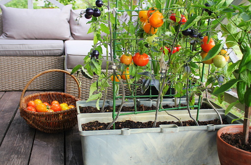 Container vegetables gardening. Vegetable garden on a terrace. Red, orange, yellow, black tomatoes growing in container 1175641792