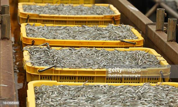 Containers of sand lances at Mega Fishing Port on March 23 2013 in Himeji Japan Sand lances are a popular local cuisine in Hyogo Prefecture