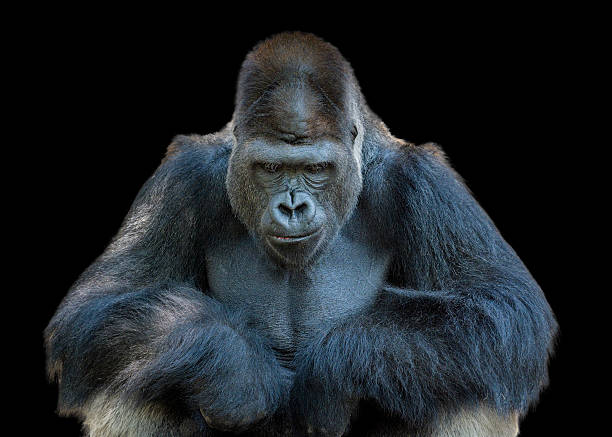 Contemplative Gorilla Wall Art