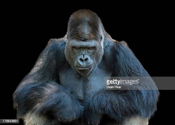 contemplative gorilla - gorilla stock pictures, royalty-free photos & images