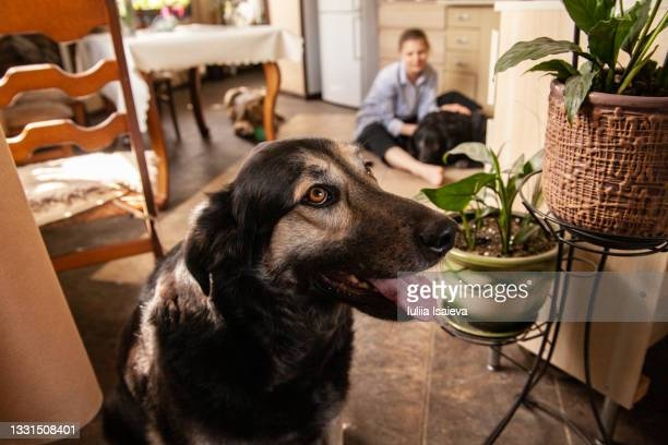 content woman with pack of dogs at home - pack of dogs stock pictures, royalty-free photos & images