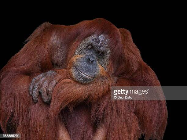 Contented Male Orangutan