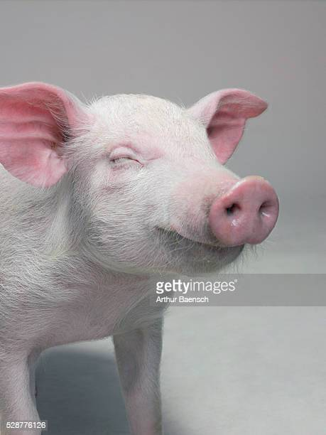 Contented pig with eyes closed