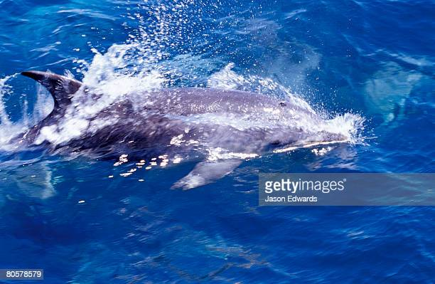 a pacific offshore bottlenose dolphin breaks the ocean surface. - continental_shelf stock pictures, royalty-free photos & images
