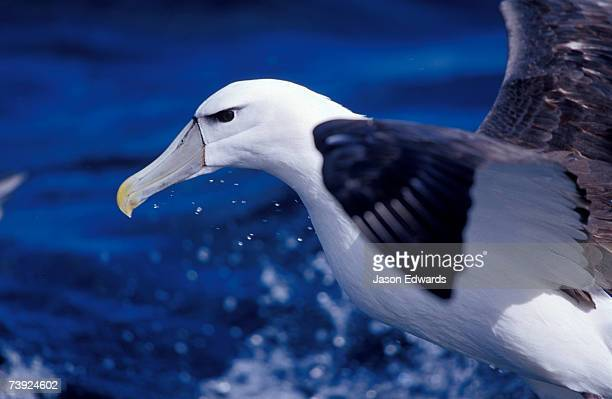head, eye and beak detail of a vulnerable shy albatross in flight. - continental_shelf stock pictures, royalty-free photos & images