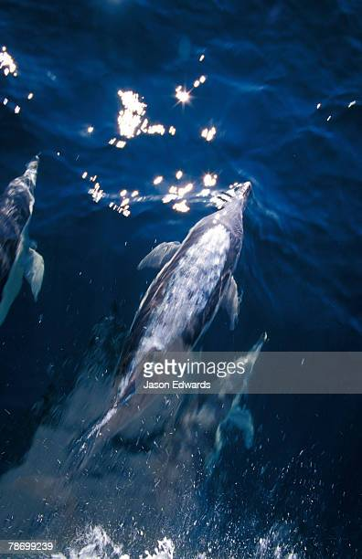 a pod of graceful common dolphin plough ahead of a boat in blue seas. - continental_shelf stock pictures, royalty-free photos & images
