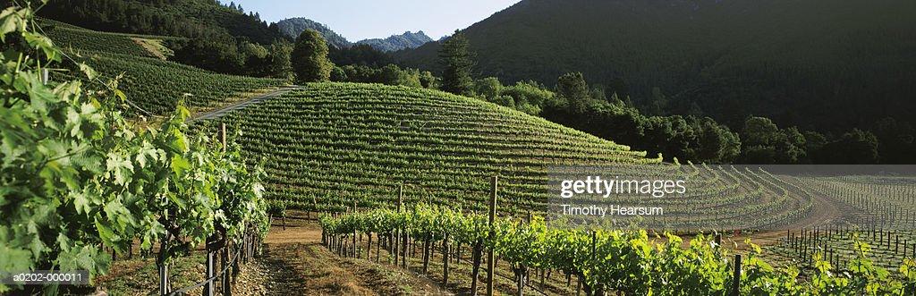 Contour Vineyard : Stock Photo